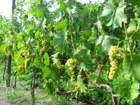 Winorośl Seyval Blanc