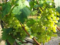 Winogrona odmiany Wostorg