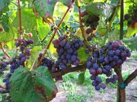 Winogrona odmiany Alden