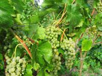 Dorodne kiście Seyval Blanc