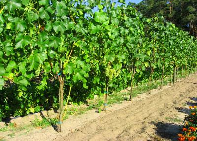 Winnica Panderoza Seyval Blanc